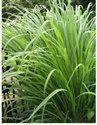 Lemon Grass/Citronella Herb and Oil