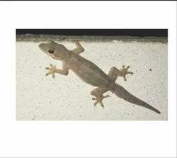 Lizard Pest Control Services