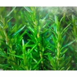 Green Fresh Rosemary Leaves, Packaging Size: 1 Kg, Extracts Part: Leaf