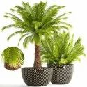 Phoenix Canariensis Palm Ornamental Palm Seeds