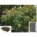 Sapindus Emarginatus Tree