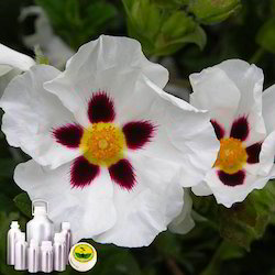Labdanum Absolute (Rock Rose) Oil