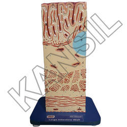 Large Intestine Wall Model
