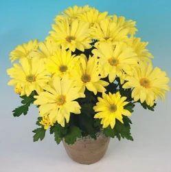 Victor Yellow Chrysanthemum Pot Plant
