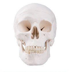 Classic Skull 3-Part