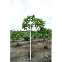 Plumeria Plant, For Garden
