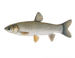 Grass Carp Fish