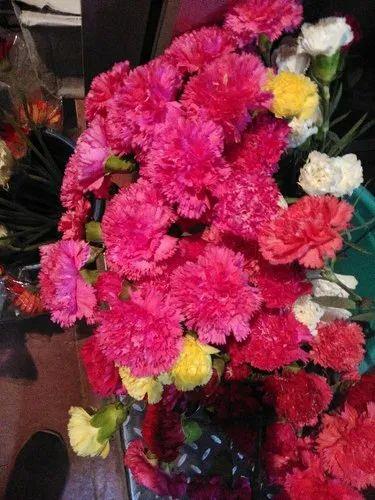 Retail Merchants Of Carnation Flower Lucky Bamboo Plant By Nasa Flowers Bengaluru