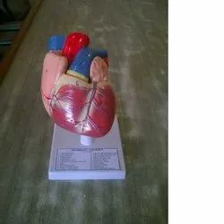 Heart Models at Best Price in India