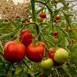 Organic Fresh Red Tomato Seeds