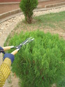 Hedge Secateur