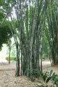 Bamboo / Dendrocalamus Strictus Seeds
