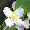 Jasmine Grandiflorum Attar