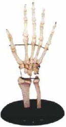 Life-Size Hand Joint Models