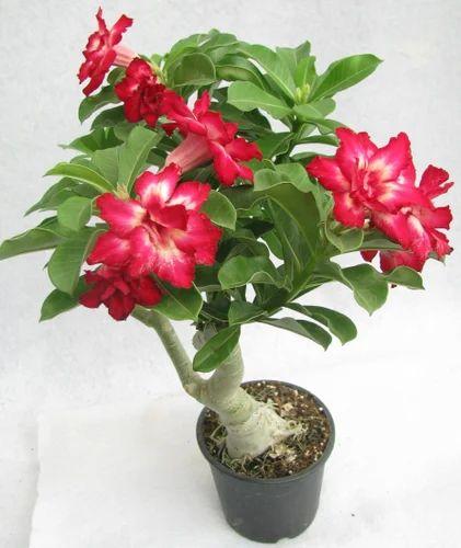 26305a38e Adenium Flowering Bonsai Plant at Rs 60  piece