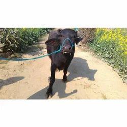 Buffalo in Karnal, भैंस, करनाल - Latest Price
