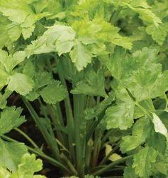 Celery Seeds  Maruti TRISHA F1