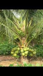 Butaki Coconut