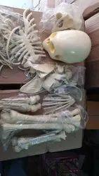 Model of Skeleton Disarcultaed