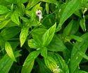 Andrographis Paniculata Extract
