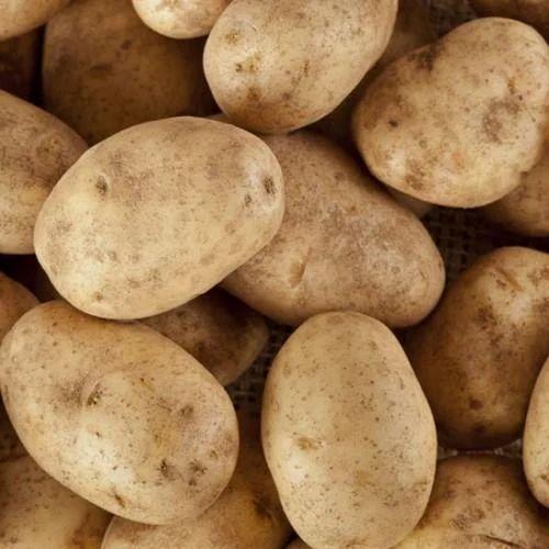 Russet Potatoes At Rs 16 Kilogram