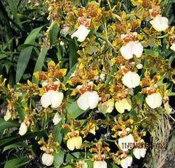 Oncidium Yuanan Gold Orchids
