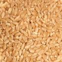Fresh Wheat Seeds