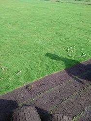 Korean Lawn Grass, Usage: Outdoor