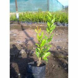 Indian Pomegranate Plant