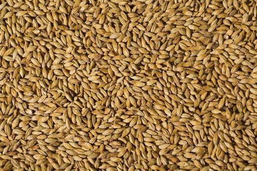Malt Barley