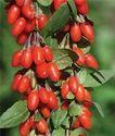 Organic Goji Berry Extracts