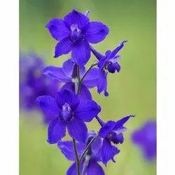 Larkspur Flower Seeds