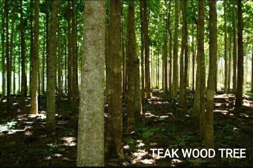 Teak Wood Tree