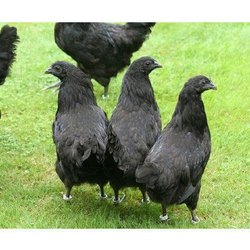 Female Kadaknath Chicken