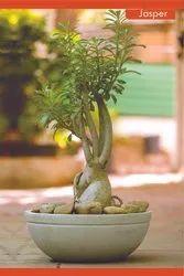 Flower Pot Jasper