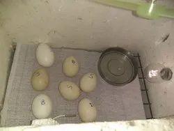 Bird Eggs in Mumbai, पक्षियों के अंडे