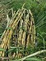 Sugarcane Supplier