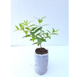 Tissue Culture Pomegranate Plant