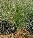 Dhurba Herbal Extract (Water Soluble)
