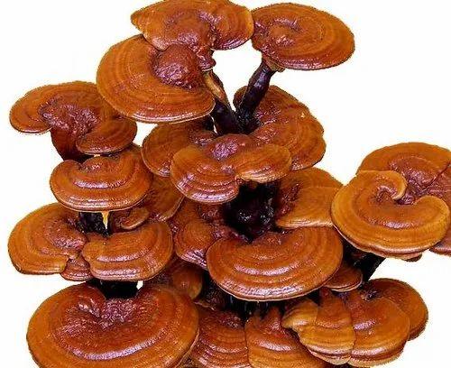 Annric Natural Ganoderma Mushroom Spawn, Packaging Size: 1kg