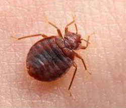Bed Bugs Control Service Bed Bugs Control In Hadapsar Pune Elite