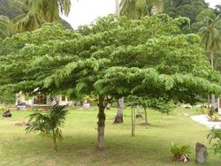 Muntingia Calabura Plants