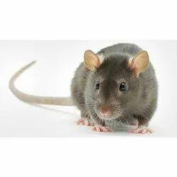 Rats Control Services