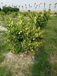 Commercial Cultivation Of Thai Lemon