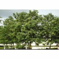 Dalbergia Latifolia  Rose wood