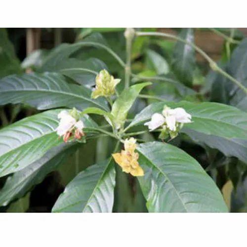 RAW HERBS - Dried Papaya Leaf Manufacturer from Hosur