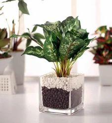 Artificial Dieffenbachia Plant in Glass vase(27 cm Tall, Green)