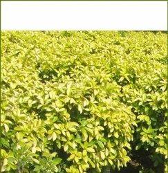 Pestiges Plant