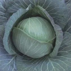 Cabbages Green Fresh Cabbage