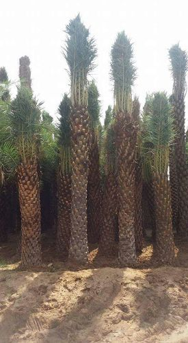 Dates Palm Trees At Rs 3000 Piece Dharmapuri Id 19886134362